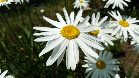 big white chamomile in the garden close-up Stock Photo - 106303241