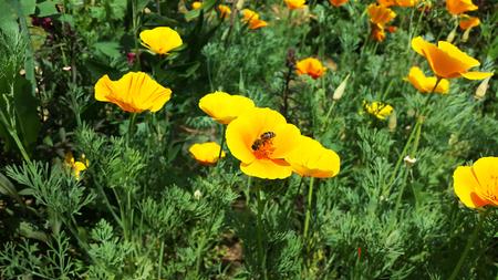 bee pollinates the poppy flower Stock Photo - 106303090