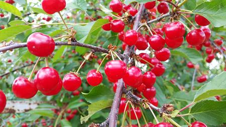 bright red cherries in the garden Stock Photo - 106303091