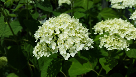 white hortensia blooms in the garden close-up Stock Photo - 106303093
