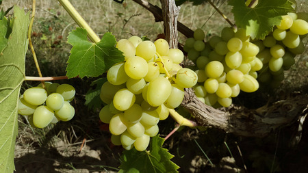ripe bunches of light green grapes in garden