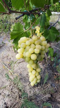 light green bunch of grapes in summer garden Stock Photo