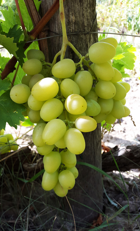 large bunch of light green grapes in garden