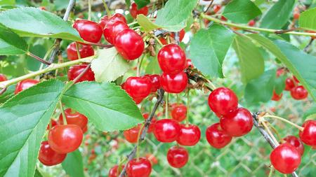 big harvest of cherries in the garden Zdjęcie Seryjne