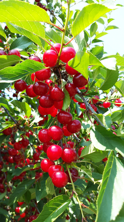 sweet and sour red cherries on branches Zdjęcie Seryjne