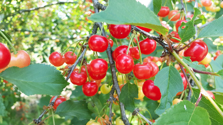 many ripe and unripe cherries on the tree