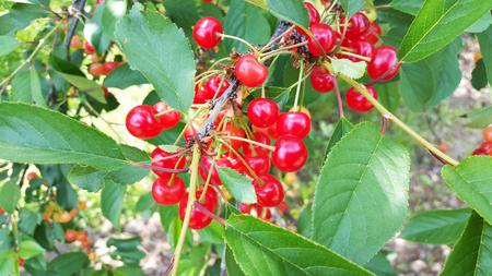 many cherries on the tree in garden Zdjęcie Seryjne