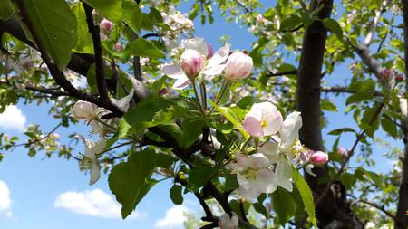 white and rosy flowers of apple tree and blue sky Zdjęcie Seryjne