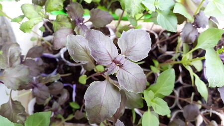 green and brown leaves of basil seedlings for gardening  Standard-Bild