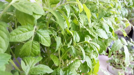 many seedlings of tomatoes - green plants for gardening
