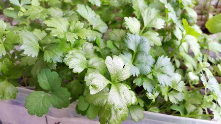 green leaves of celery seedlings for gardening - small plants Standard-Bild