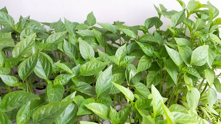 green seedlings of peppers - fresh leaves of plants