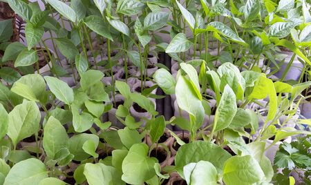 seedlings of peppers and eggplants - green plants for gardening Banque d'images - 145590265