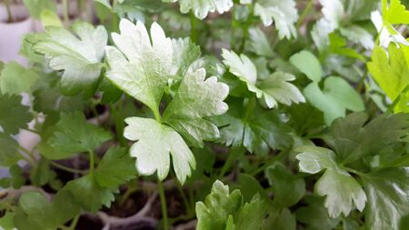 seedlings of celery - green plants for gardening Banque d'images - 145590160
