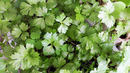 celery seedlings for gardening - many small plants