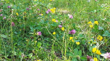 green summer meadow with yellow and purple clover flowers and grass Banque d'images - 145692178