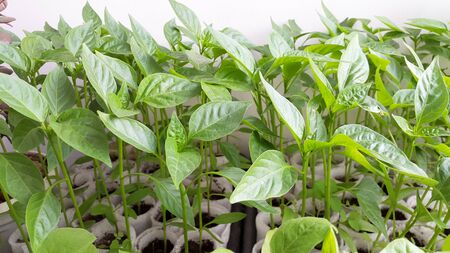 green seedlings of peppers - plants in spring Banque d'images - 145691708