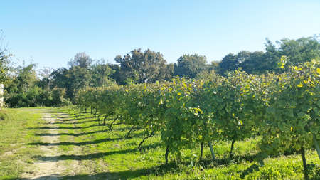 green grape rows at sunny autumn day