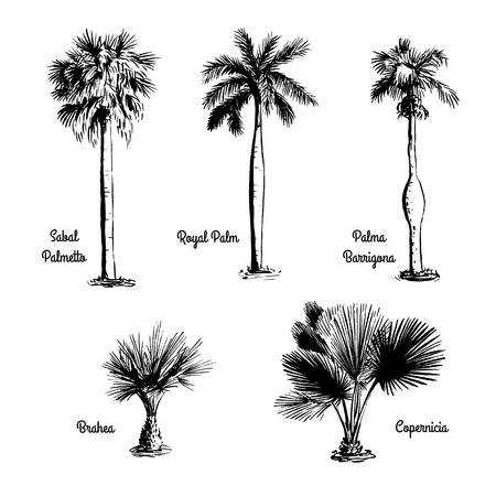 tree: Set of hand drawn tree sketches - Royal Palm, Sabal Palmetto, Palma Barrigona, Brahea, Copernicia. Black silhouettes isolated on white background. Tropical flora. Vector illustration.