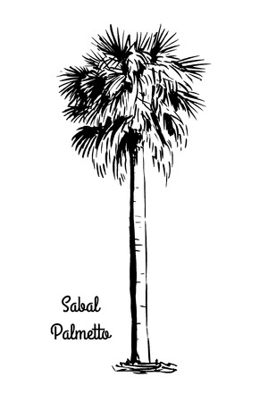 palmetto: Vector sketch illustration. Black silhouette of Sabal Palmetto isolated on white background. Cabbage Palm drawing. Tropical flora native to USA, Cuba, Bahamas. Official state tree of Florida and South Carolina. Illustration