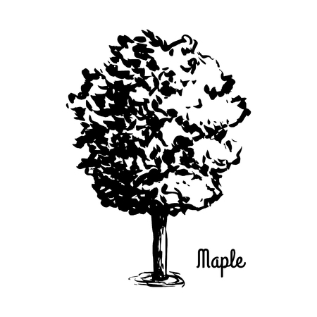 Vector sketch illustration. Black silhouette of Maple isolated on white background. Acer tree.