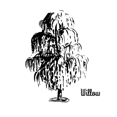 Vector sketch illustration. Black silhouette of Willow tree isolated on white background.