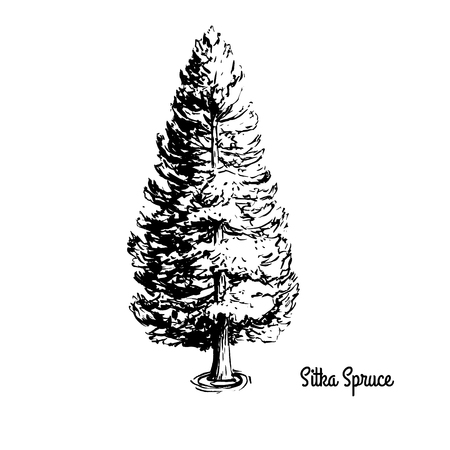 Vector sketch illustration. Black silhouette of Sitka Spruce isolated on white background. Coniferous tree drawing, symbol of Alaska.