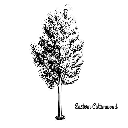 Illustrazione di schizzo vettoriale di pioppo di collana. Silhouette nera di Cottonwood orientale isolato su sfondo bianco. Albero ufficiale dello stato di Kansas e Nebraska. Archivio Fotografico - 79022355