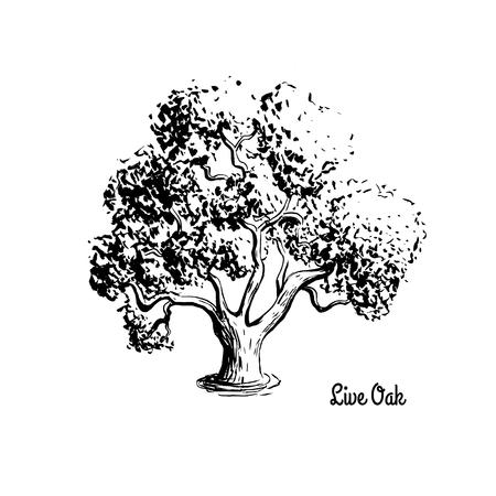 Illustrazione di schizzo vettoriale di Live Oak. Siluetta nera dell'albero sempreverde isolata su fondo bianco. Albero statale ufficiale della Georgia. Archivio Fotografico - 80109998