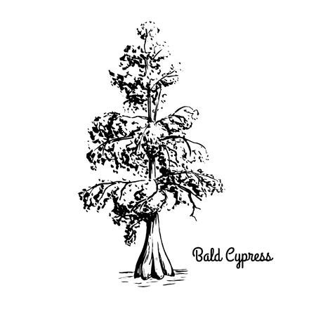 Illustration de croquis de vecteur de Cyprès chauve. Silhouette noire de cyprès des marais isolé sur fond blanc. Arbre de l'état coniférien de la Louisiane. Symbole des marais du sud