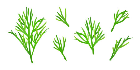 Set of isolated dill sprigs. Fresh dill twigs collection on white