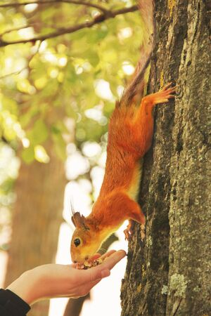 Sciurus. Rodent. The squirrel eats nuts from a hand. Beautiful red squirrel in the park