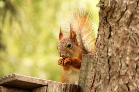 Sciurus. Rodent. Squirrel on the birdhouse. Beautiful red squirrel on a tree
