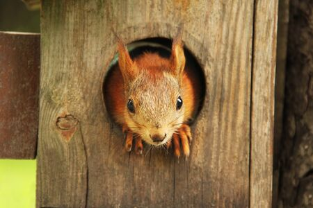 Sciurus. Rodent. A squirrel peeks out of a birdhouse. Beautiful red squirrel looking at the camera