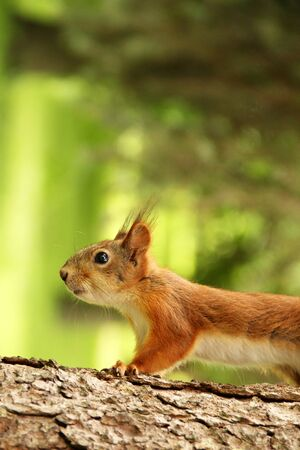 Sciurus. Rodent. The squirrel sits on a tree. Beautiful red squirrel in the park
