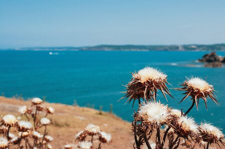 Thorn dry flowers with turquoise sea in the background. Beautiful view of Black sea in Istanbul, Turkey. Summer vacation, travel concept. Climate warming