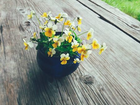 Yellow viola flowers in blue ceramic cup, on wooden veranda background. Still life in rustic style. Close up view. Summer or spring in garden, countryside lifestyle concept. Daylight
