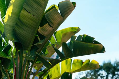 Beautiful lush green leaves of tropical plants against blue sky. Summer resort, botanical garden. Vacation, travel concept. Copy space for your text and design
