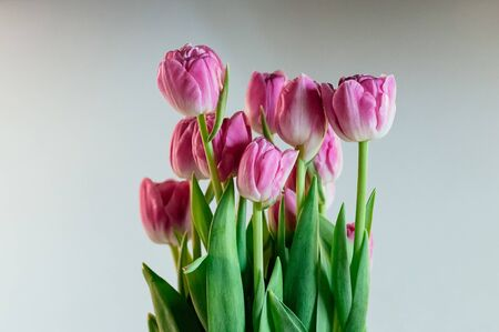 Cute big pink tulip flowers. Close up image of peony tulips on white background. Soft selective focus. Holiday, gift concept. Flowers for greeting card or other design