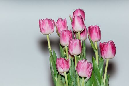 Pink tulip flowers. Lifestyle photo of peony tulips on white background. Harsh shadows from the flash light. Holiday, gift, glamour concept. Flowers for greeting card or other design