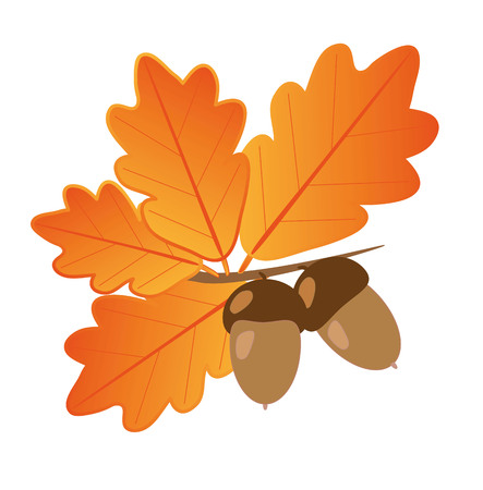 Light brown acorns with dark brown hats on a branch with bright orange autumn oak leaves on a white background  More - in my portfolio Vector
