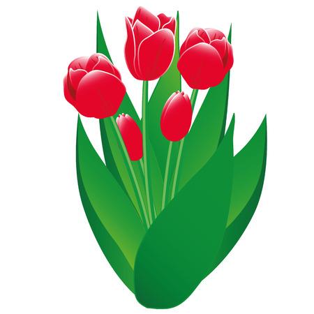 izole nesneleri: Bahar laleler - kırmızı çiçekler ve tomurcuklar, beyaz bir arka plan izole nesneler üzerinde yeşil yaprakları