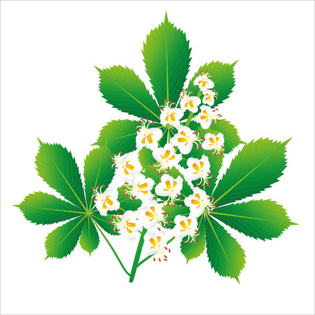 The composition of the leaves and flowers of horse chestnut on a white background Vector