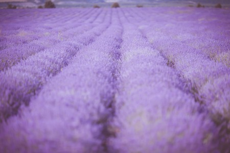 plateau of flowers: Sunset over a violet lavender field in Provence,Hokkaido