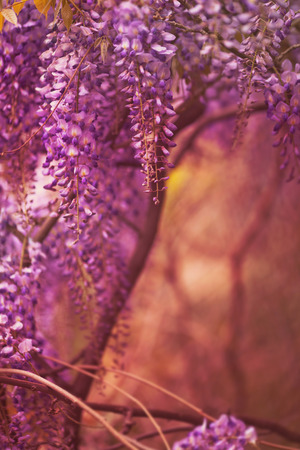 forceful: beautiful purple  spring flowers hanging on trees Stock Photo