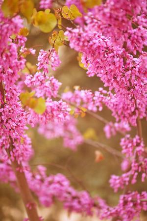 leverage: hermosas flores de primavera de color p�rpura que cuelgan en los �rboles Foto de archivo