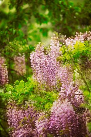 wistaria: beautiful purple  spring flowers hanging on trees Stock Photo