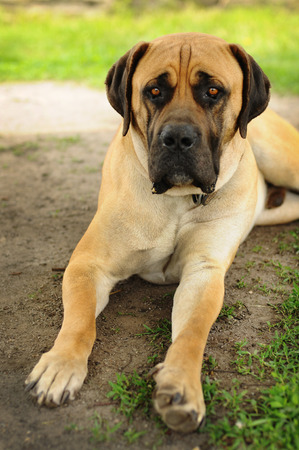 boerboel dog: Sad beige Boerboel dog lying on the ground