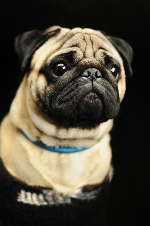 black pug: Beige pug portrait on black background
