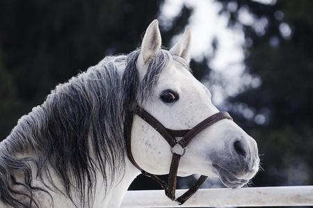 Schöne graue arabische Stallionportrait im Winter